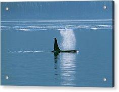 Orca  Orcinus Orca  Near Telegraph Cove Acrylic Print by Carl Bruemmer