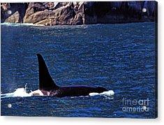 Orca Surfacing Acrylic Print by Thomas R Fletcher