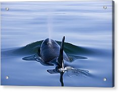 Orca Whale Surfaces In Lynn Canal Acrylic Print by John Hyde