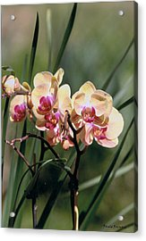 Orchid Dream Acrylic Print by Paula Rountree Bischoff