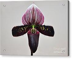 Orchid Paphiopedilum Satchel Paige X Black Beauty Acrylic Print by Susan Wiedmann