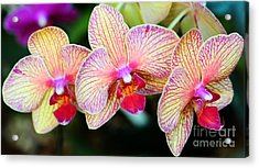 Orchid Trio Acrylic Print by Kathleen Struckle