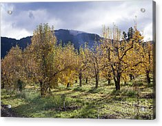 Oregon Orchard Acrylic Print by Peter French