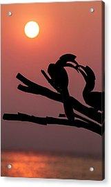Oriental Pied Hornbills Acrylic Print by Paul Williams