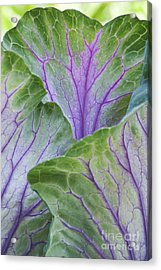 Ornamental Cabbage Leaves Acrylic Print by Tim Gainey
