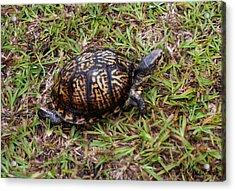 Box Turtle Acrylic Print by Mechala  Matthews