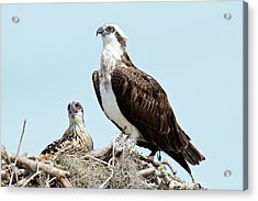 Osprey And Chick Acrylic Print by Bob Gibbons