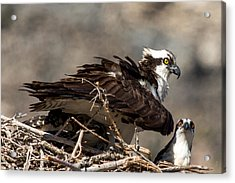 Osprey Family Huddle Acrylic Print by John Daly