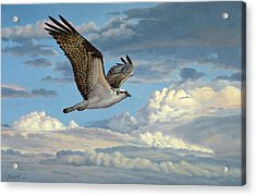 Osprey In The Clouds Acrylic Print by Paul Krapf