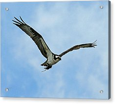 Osprey Nest Building Acrylic Print by Ernie Echols