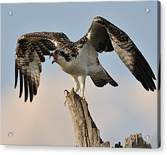 Osprey Scream Acrylic Print by Angel Cher