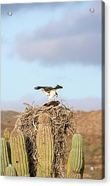 Ospreys Nesting In A Cactus Acrylic Print by Christopher Swann