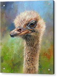 Ostrich Acrylic Print by David Stribbling