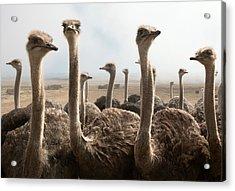 Ostrich Heads Acrylic Print by Johan Swanepoel