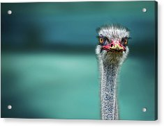 Ostrich Protecting Two Poor Chicken From The Wind Acrylic Print by Piet Flour