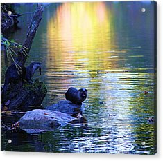 Otter Family Acrylic Print by Dan Sproul