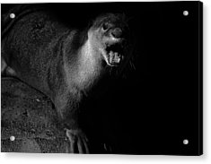 Otter Wars Acrylic Print by Martin Newman