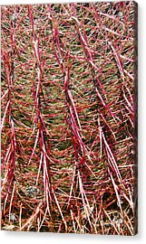 Ouch Acrylic Print by Bob Phillips