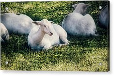 Out To Pasture Acrylic Print by Melanie Lankford Photography