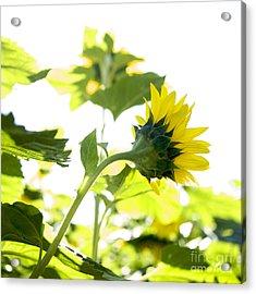 Overexposed Sunflower Acrylic Print by Bernard Jaubert