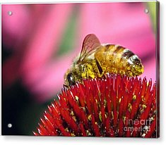 P2 The Pollenator Acrylic Print by Chris Anderson