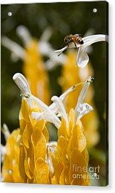 Pachystachys Lutea - Lollipop Plant - Golden Candle - Shrimp Plant Acrylic Print by Sharon Mau