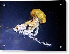 Pacific Sea Nettle Jellyfish Acrylic Print by Bildagentur-online/mcphoto-schulz