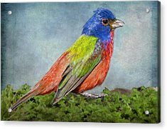 Painted Bunting Portrait Acrylic Print by Bonnie Barry