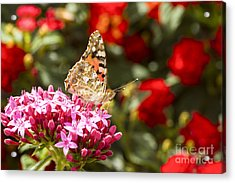 Painted Lady Butterfly Acrylic Print by Eyal Bartov