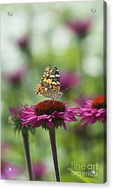 Painted Lady Butterfly  Acrylic Print by Tim Gainey