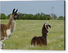Pair Of Alpacas Acrylic Print by Charles Beeler