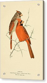 Pair Of Cardinals Acrylic Print by Philip Ralley