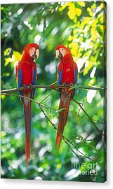 Pair Of Scarlet Macaws Acrylic Print by Art Wolfe