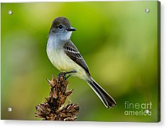 Pale-edged Flycatcher Acrylic Print by Anthony Mercieca
