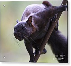 Panamanian Tree Squirrel Acrylic Print by Heiko Koehrer-Wagner