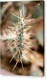 Pancake Cactus Acrylic Print by Diana Shay Diehl