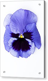 Pansy Face Acrylic Print by Anne Gilbert