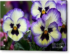 Pansy Faces Acrylic Print by Theresa Willingham