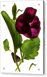 Pansy Purple Acrylic Print by Julia McLemore