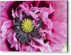 Papaver Somniferum Pink  Acrylic Print by Tim Gainey