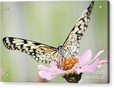 Paper Kite Butterfly On Zinnia Acrylic Print by Oscar Gutierrez