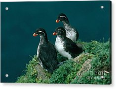 Parakeet Auklet Acrylic Print by Art Wolfe