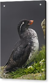 Parakeet Auklet Sitting In Green Acrylic Print by Milo Burcham