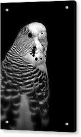 Parakeet Acrylic Print by Nathan Abbott