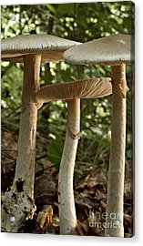 Parasol Mushrooms Macrolepiota Sp Acrylic Print by Susan Leavines