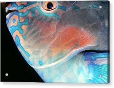 Parrotfish 2 Acrylic Print by Dawn Eshelman