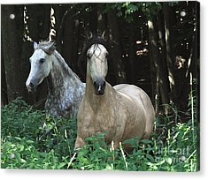 Paso Fino Mares Pay Attention Acrylic Print by Patricia Keller