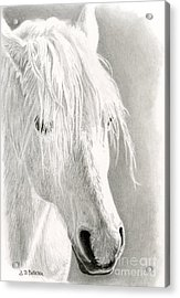White Horse- Paso Fino Acrylic Print by Sarah Batalka