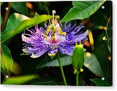 Passiflora Incarnata Acrylic Print by Adam LeCroy
