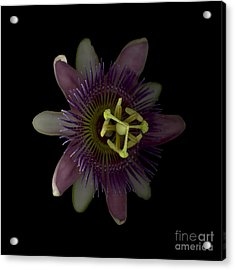 Passion Angle Front Acrylic Print by Heather Kirk